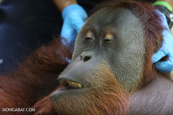 Giving an adult male orangutan a health check