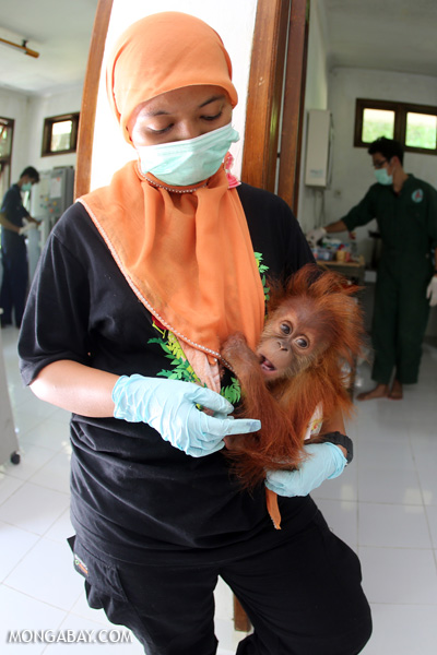 Baby orangutan getting a check-up