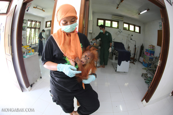 Infant orangutan getting a check up at a rescue center run by the Sumatran Orangutan Conservation Programme in North Sumatra