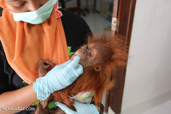 Baby orangutan getting a check-up