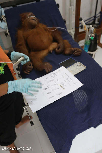 Orangutan getting fingerprinted
