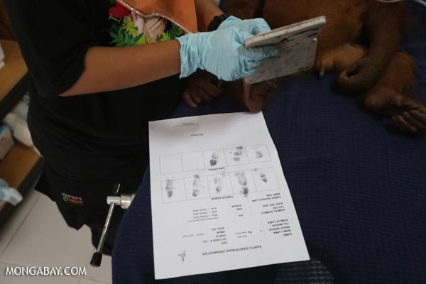 Orangutan getting fingerprinted