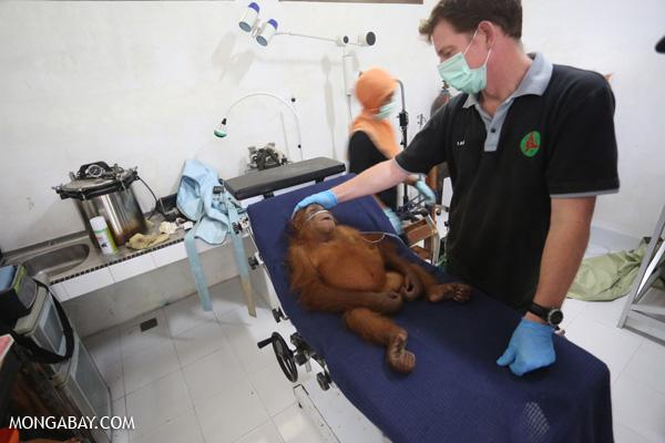 Orangutan getting a health check