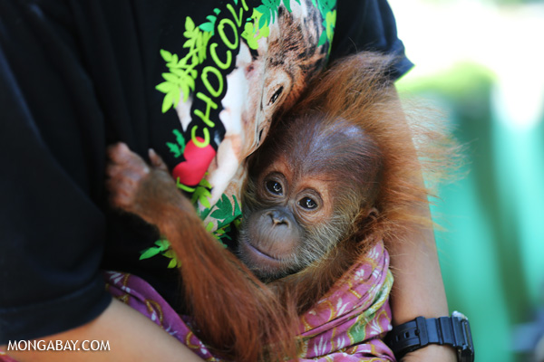 Recently rescued infant orangutan at a rescue center run by the Sumatran Orangutan Conservation Programme in North Sumatra