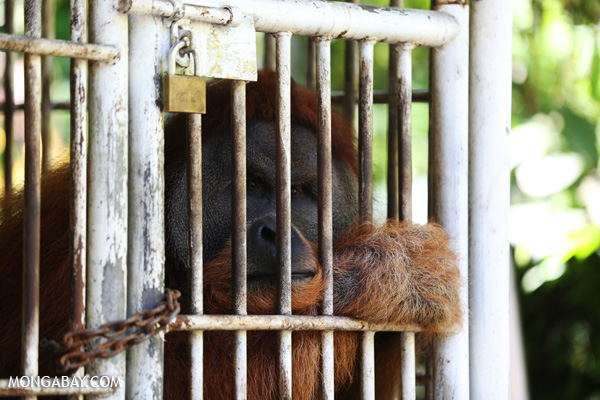 Caged male orangutan awaiting its re-release into the wild