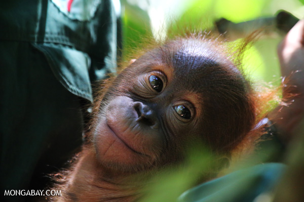 Infant Sumatran orangutan with a conservation worker