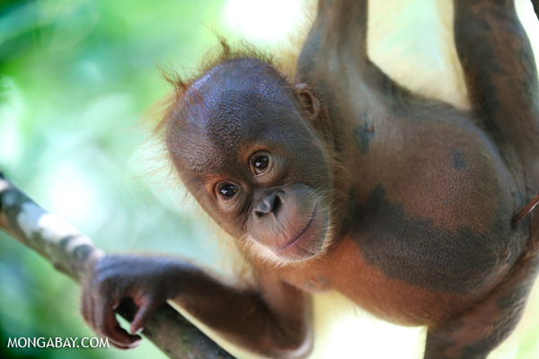 A baby orangutan in Indonesia. Photo: Rhett A. Butler