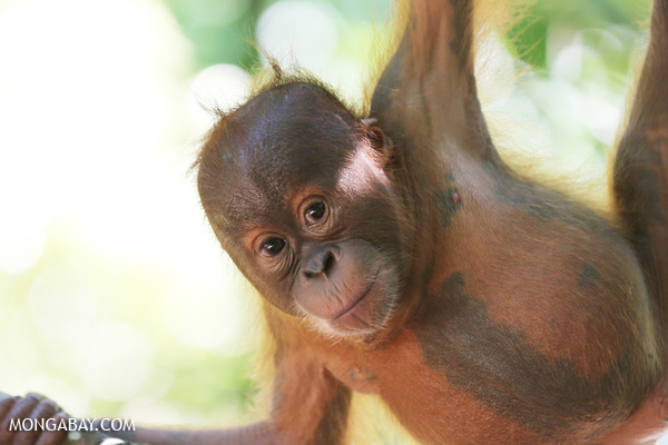 A baby orangutan in North Sumatra. The species is critically endangered. Photo: Rhett A. Butler