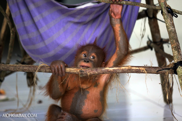 Baby orangutan at a conservation center