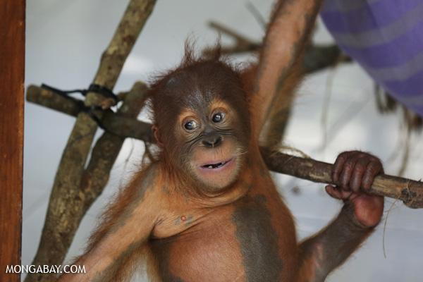 Baby orangutan at a conservation center