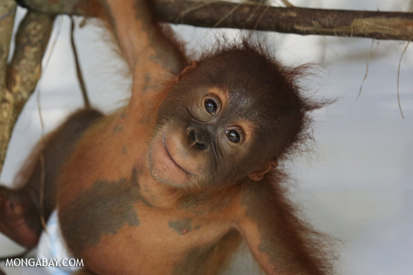 Orphaned orangutan. Photo by: Rhett A. Butler.