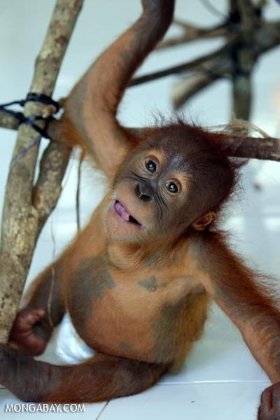 Baby orangutan in a diaper