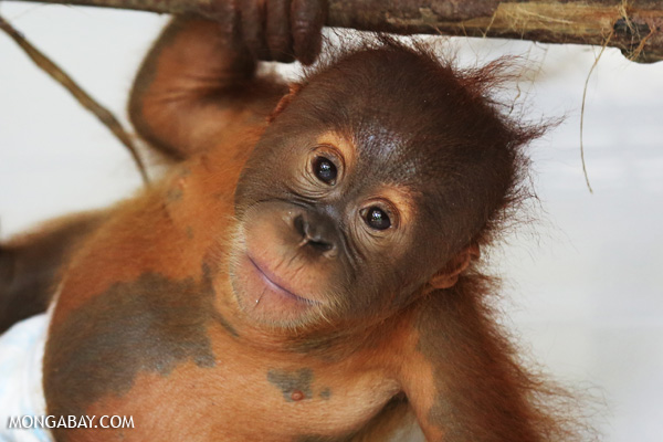 Orangutan orphaned after its mother was killed in an oil palm plantation in Sumatra.