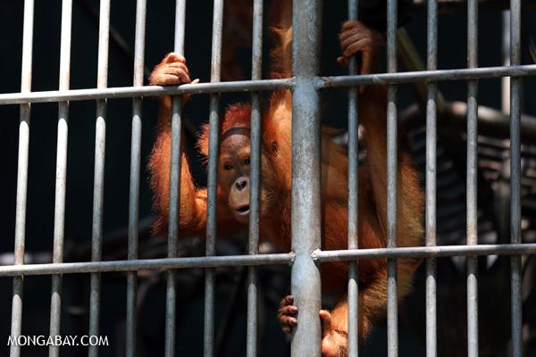 Orangutan being rehabilitated for re-release into the Sumatran rainforest