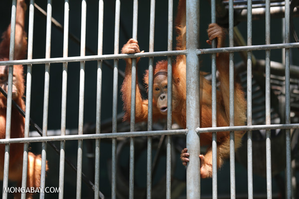 Orangutan being rehabilitated for re-release into the Sumatran rainforest