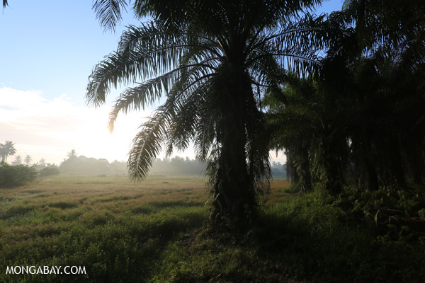 Oil palm plantation at sunrise
