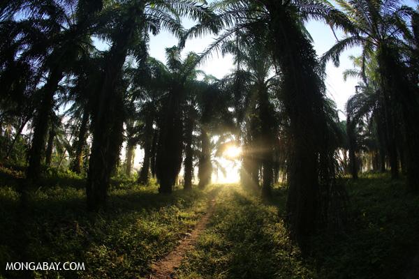 Oil palm plantation at daybreak