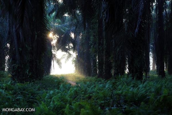 Oil palm plantation at dawn