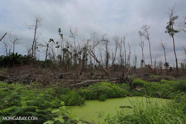 A burned acacia plantation
