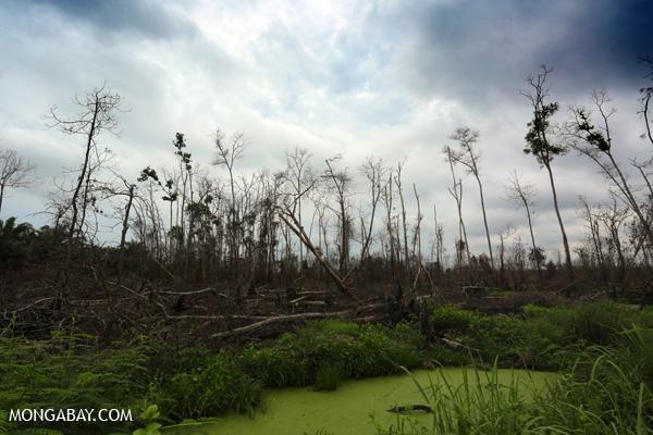 An acacia plantation that was burned in Riau by villagers seeking to establish an oil palm plantation.