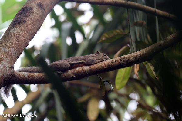 Squirrel in Riau