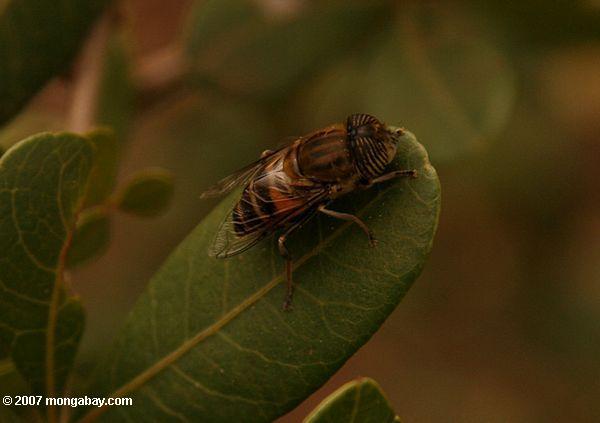 Eristaline hover-fly (Eristalinus quinquelineatus), not a tse-tse fly