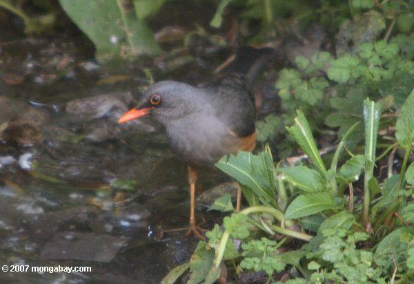 Black bird with orange-red beak and orange belly