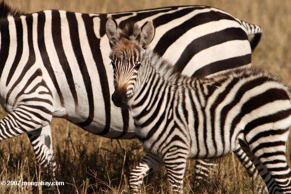 A baby zebra is called a foal