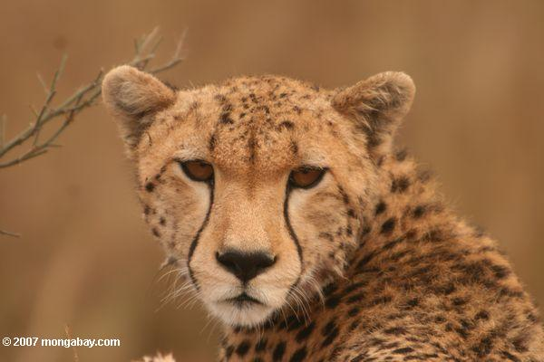The cheetah is another species that could be negatively impacted by fencing. Photo by: Rhett Butler.