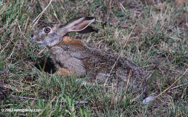 Scrube hare (Lepus saxatilis)