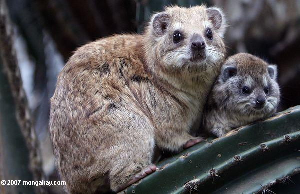 Southern Tree Hyrax with baby