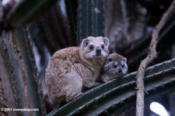 Southern Tree Hyrax and baby in a Giant cactus (Cereus peruvianus)