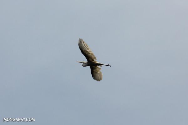 Heron [sabah_kinabatangan_0006]