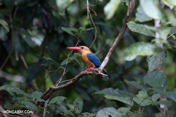 Stork-billed Kingfisher (Pelargopsis capensis) [sabah_kinabatangan_0016]
