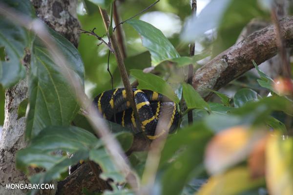 Mangrove snake [sabah_kinabatangan_0041]