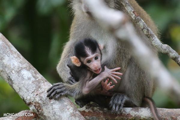 Baby macaque [sabah_kinabatangan_0049]