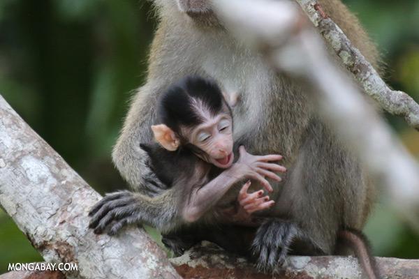 Baby macaque [sabah_kinabatangan_0050]
