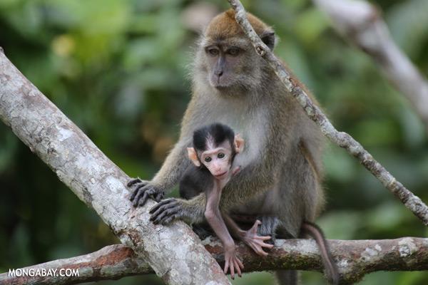 Baby macaque with its mother [sabah_kinabatangan_0058]