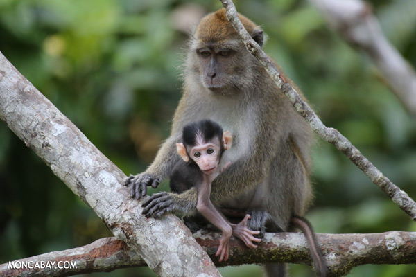 Baby macaque with its mother