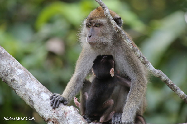 Baby macaque with its mother [sabah_kinabatangan_0065]