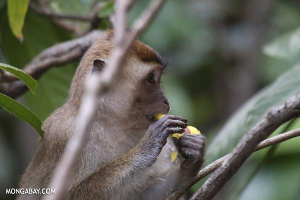 Macaque feeding on a flower [sabah_kinabatangan_0066]