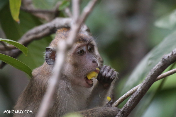Macaque feeding on a flower [sabah_kinabatangan_0070]