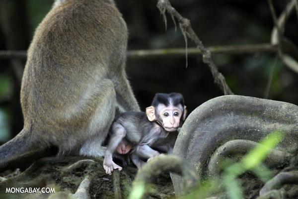 Baby macaque [sabah_kinabatangan_0076]