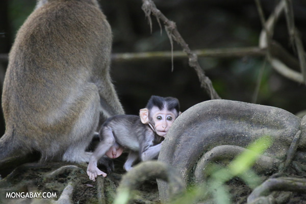 Baby macaque penis
