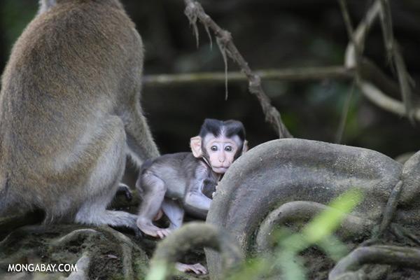 Baby macaque [sabah_kinabatangan_0078]