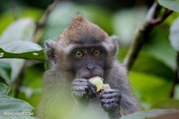 Macaque feeding