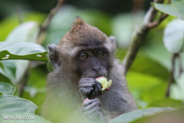 Macaque feeding [sabah_kinabatangan_0086]