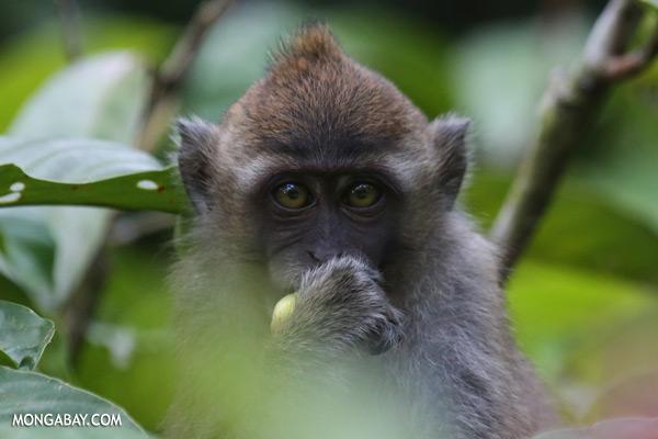 Macaque feeding [sabah_kinabatangan_0091]