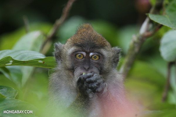 Macaque feeding [sabah_kinabatangan_0094]