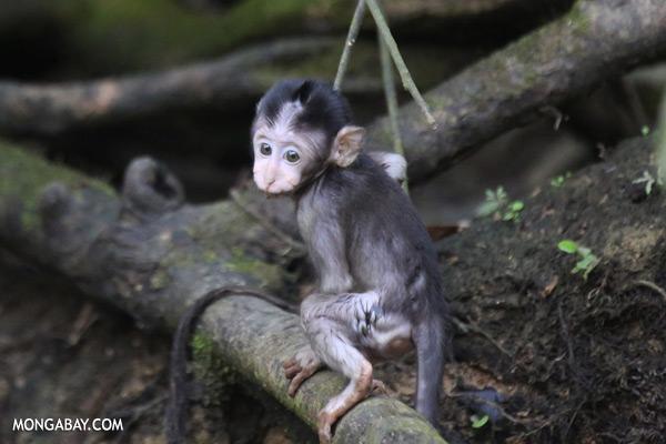 Baby macaque [sabah_kinabatangan_0097]